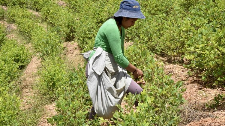 Bolivian coca grower harvesting her leaves in Chura, Cocayapu region (Bolivia)