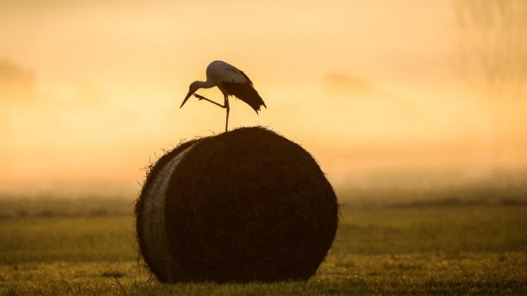 The stork perched on the hay bale (W. Germany)