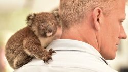 An orphaned baby Koala seeks solace on a vet's shoulder at a makeshift field hospital at the Kangaroo Island Wildlife Park