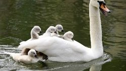 A swan with cygnets on the River Ill in Strasbourg