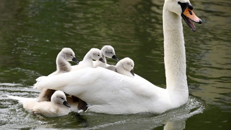 A swan with her cygnets in Strasbourgh, France