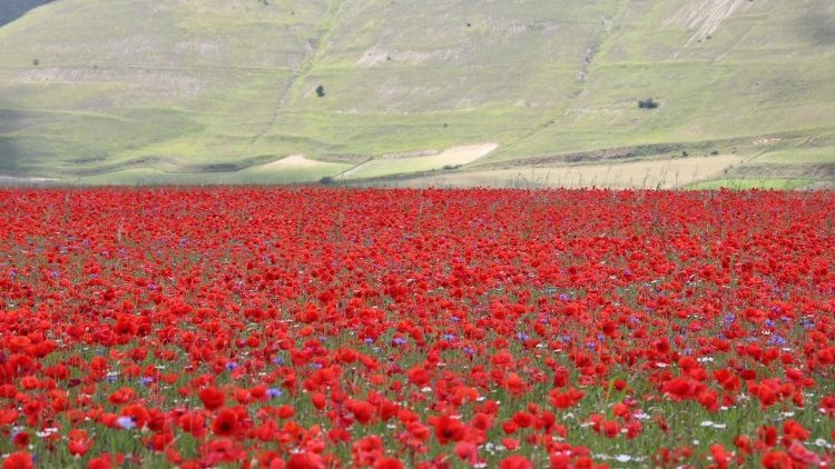 The flowering of Castelluccio di Norcia