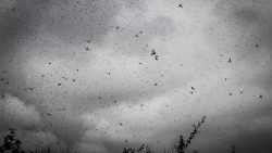 Large swarms of desert locusts threaten Eastern Africa's food security