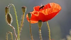 A filed full of blooming common poppy