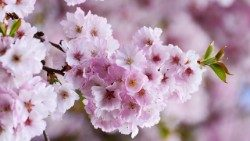cherry-blossoms-3327498_960_720 GIUSTO.jpg