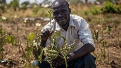 Thanks to a Caritas project in Uganda a South Sudanese refugee is helped to cultivate okra
