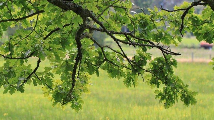 2019.07.18 Quercia, albero, prato