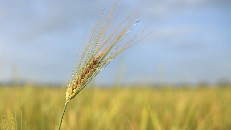 Campo - grão de trigo