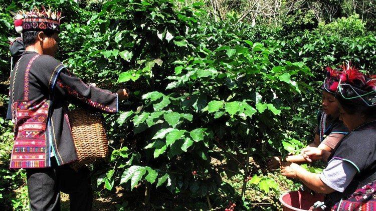 Recolección de café en los pueblos de la montaña